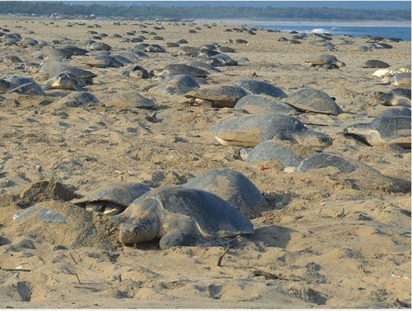 Пока все на карантине: на пляже в Индии черепахи отложили более 60 миллионов яиц 2 12.05.2021
