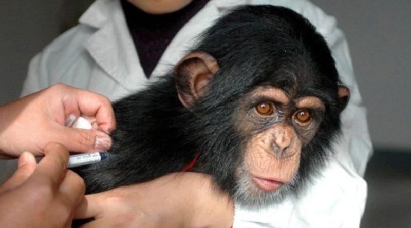 Maimuțe injectate cu vaccinul anti-COVID au fost tratate complet