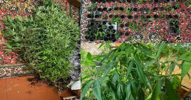 Un tânăr de 36 ani este cercetat penal pentru cultivarea plantelor de cânepă 1 12.04.2021
