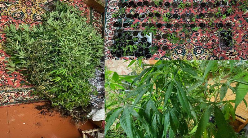 Foto Un tânăr de 36 ani este cercetat penal pentru cultivarea plantelor de cânepă 1 29.07.2021