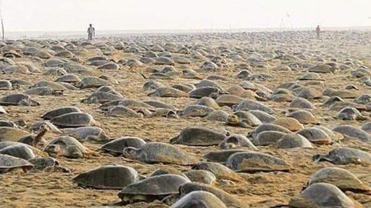 Пока все на карантине: на пляже в Индии черепахи отложили более 60 миллионов яиц 1 12.05.2021