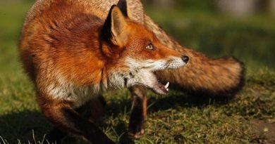În primul trimestru al anului curent în nordul țării s-au depistat 15 animale bolnave de rabie