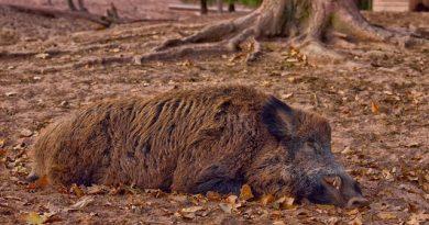 Cazuri noi de pestă porcină în nordul Moldovei