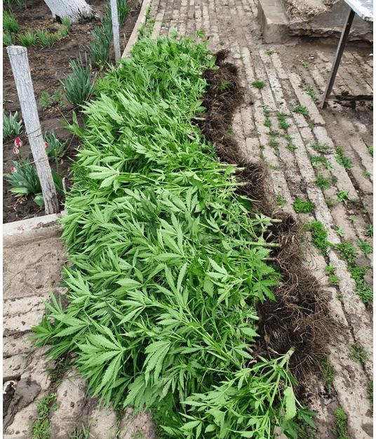 Foto Seră pentru cultivarea cânepii în Hâncești. Cinci bănuiți au fost reținuți 3 16.06.2021