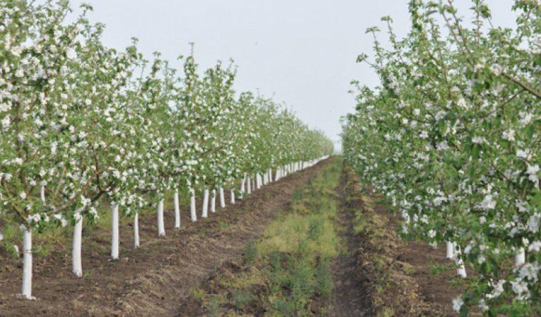 Livezile de mere din nordul țării afectate de îngheț
