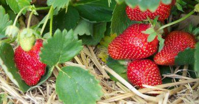 Trei sfaturi pentru o recoltă bogată de căpșune