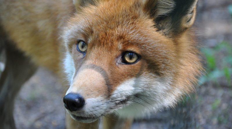 Premieră în Republica Moldova. ANSA va începe vaccinarea vulpilor contra rabiei