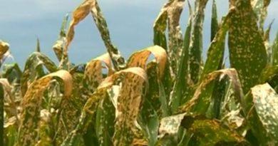 Mai multe culturi afectate la Râșcani în urma unui câmp stropit cu erbicide