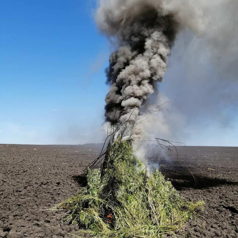 Foto /FOTO/ Peste zece mii plante de cânepă depistate în raionul Soroca 1 14.06.2021