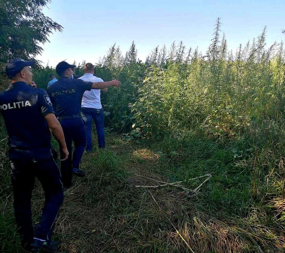 Foto /FOTO/ Peste zece mii plante de cânepă depistate în raionul Soroca 2 14.06.2021