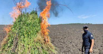 /FOTO/ Peste zece mii plante de cânepă depistate în raionul Soroca