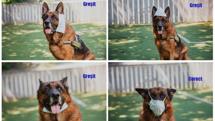 Foto /FOTO/ Un alt câine arată cum se poartă corect masca de protecție 1 25.07.2021