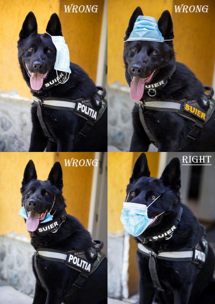 Foto /FOTO/ Un câine arată cum se poartă corect masca de protecție 1 16.06.2021