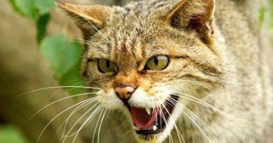 Caz de rabie depistat la o pisică în raionul Râșcani