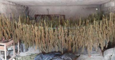 /VIDEO/ Sute de plante de cânepă special cultivate, depistate și ridicate în orașul Soroca