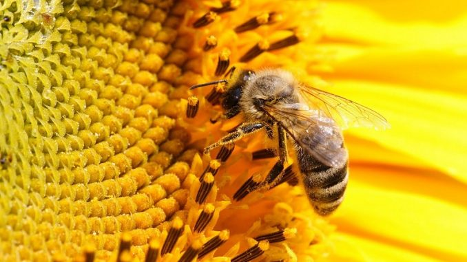 Albinele ar putea fi antrenate pentru a îmbunătăți culturile agricole