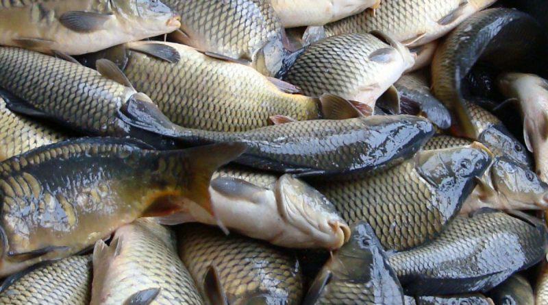 Persoanele care transportă sau comercializează pește ar putea fi verificate de către Inspectoratul pentru Protecția Mediului