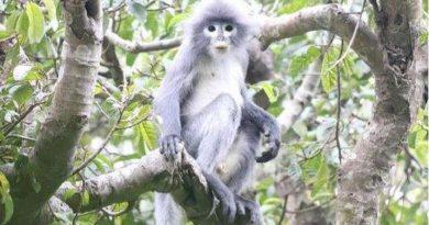 O nouă specie de maimuţă, descoperită în Myanmar 1 14.04.2021