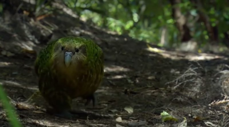 """/VIDEO/ Papagalul Kakapo de patru kilograme a fost desemnat """"Pasărea anului 2020"""""""