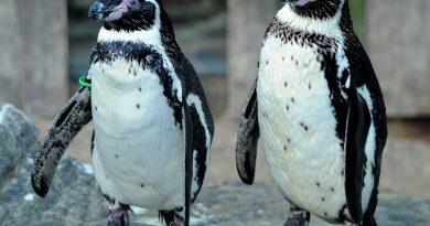 Un bărbat din Marea Britanie a furat doi pinguini de la Zoo şi i-a vândut pe Facebook