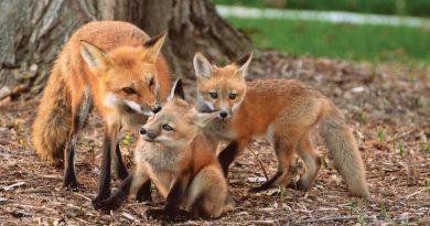 ANSA a început a doua campanie de vaccinare antirabică a vulpilor