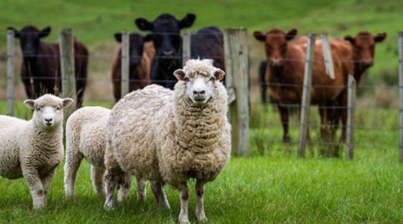 Fermierii care cresc bovine, ovine și caprine vor primi bani de la stat