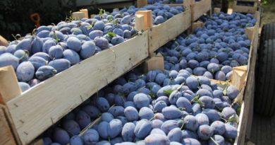 Un alt lot de aproximativ 20 tone de prune din Moldova a fost distrus în Federația Rusă. În ultimele două luni Rosselhoznadzor a distrus șapte loturi de fructe moldovenești