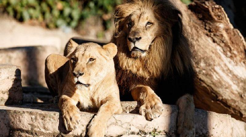 Grădina Zoologică din Chișinău a rămas fără lei. Cele trei feline au murit în acest an din cauza bătrâneții