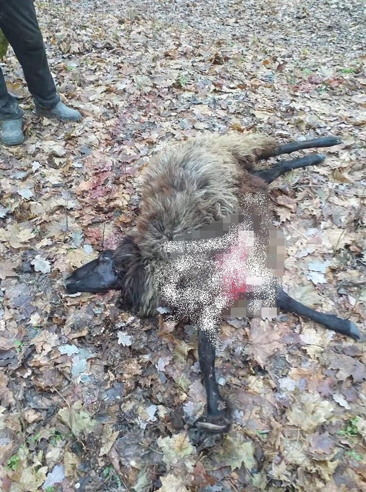 Foto /FOTO/ O haită de lupi a sfâșiat mai multe oi și capre în raionul Florești 1 25.07.2021