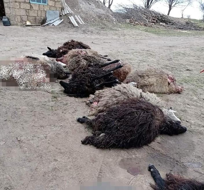 Foto /FOTO/ O haită de lupi a sfâșiat mai multe oi și capre în raionul Florești 3 25.07.2021