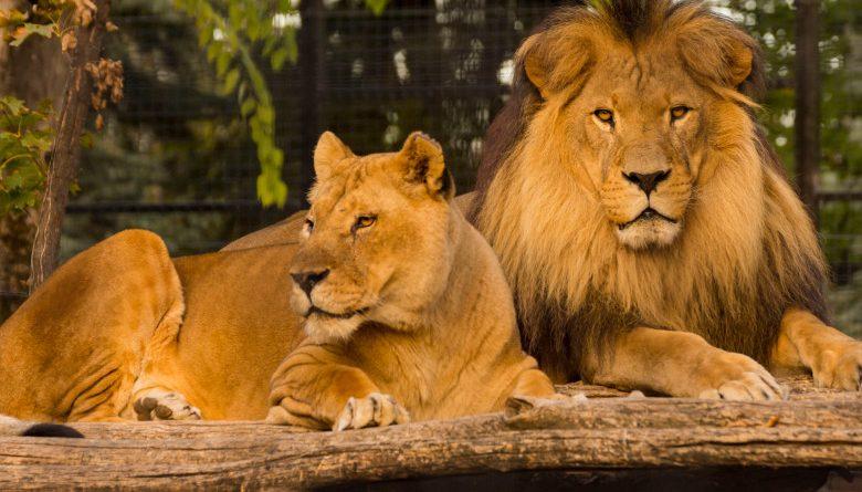 La Grădina Zoologică din Chișinău vor fi aduși cinci lei din Slovacia
