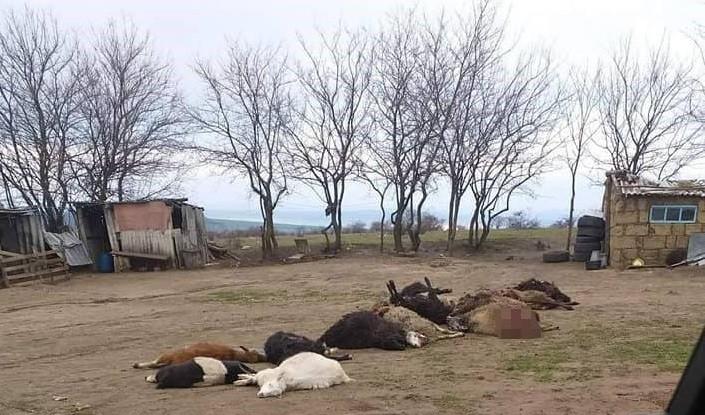/FOTO/ O haită de lupi a sfâșiat mai multe oi și capre în raionul Florești
