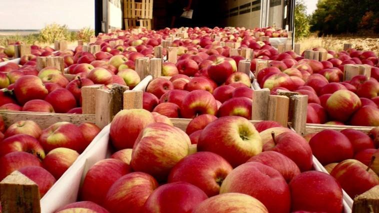 Un lot de peste patru tone de mere din Moldova a fost distrus în Federația Rusă