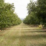 În raionul Soroca se află ce mai mare livadă de nuc certificată ecologic