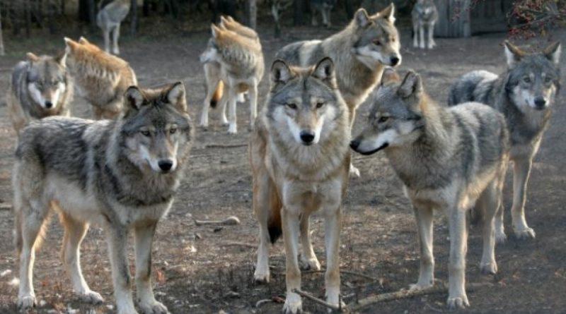 O haită de lupi fac prăpăd într-un sat din raionul Sângerei