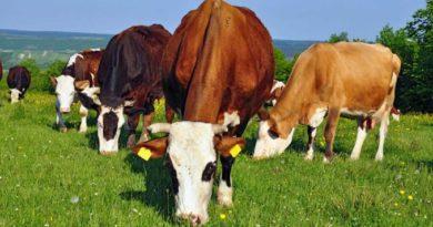 Primul apel de subvenționare per cap de animal, lansat de Ministerul Agriculturii 1 11.05.2021
