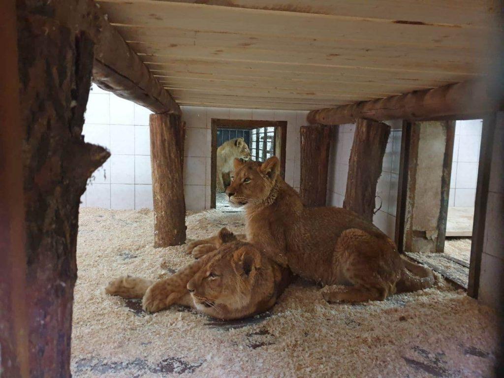 Foto /FOTO/ La Grădina Zoologică din Chișinău au fost aduși patru lei africani 1 05.08.2021