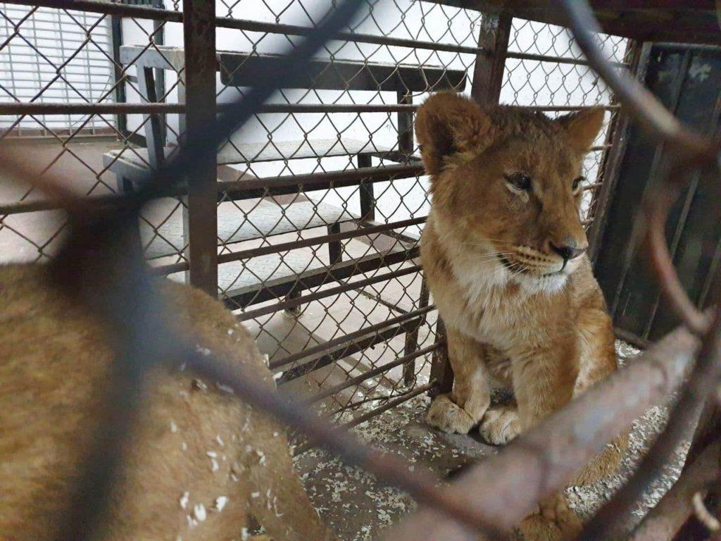 Foto /FOTO/ La Grădina Zoologică din Chișinău au fost aduși patru lei africani 2 05.08.2021