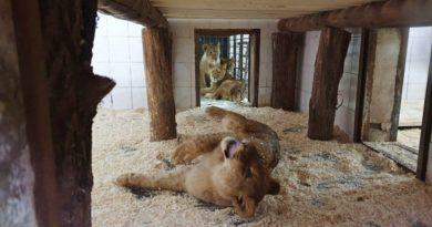 /FOTO/ La Grădina Zoologică din Chișinău au fost aduși patru lei africani