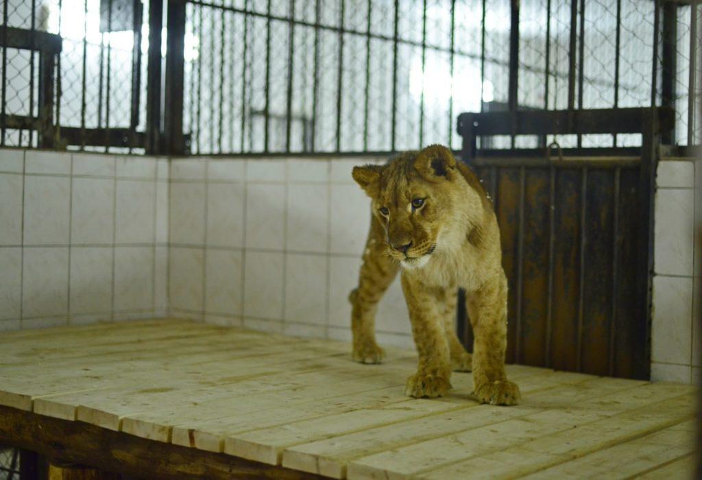 Foto /FOTO/ La Grădina Zoologică din Chișinău au fost aduși patru lei africani 3 05.08.2021