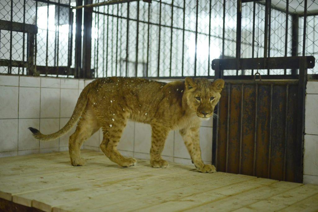 Foto /FOTO/ La Grădina Zoologică din Chișinău au fost aduși patru lei africani 4 05.08.2021