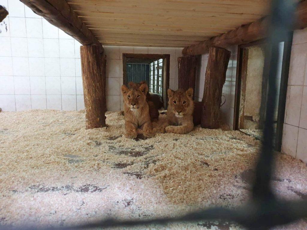 Foto /FOTO/ La Grădina Zoologică din Chișinău au fost aduși patru lei africani 5 05.08.2021