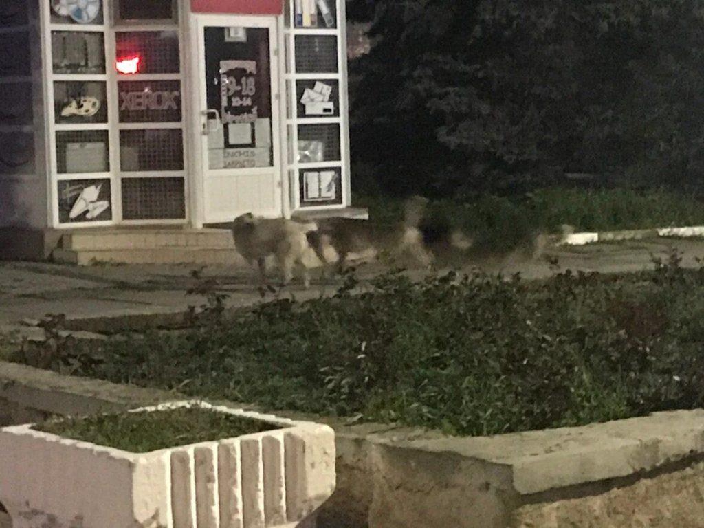 Foto Очередной случай нападения собак на детей зафиксирован в Бэлць 3 21.06.2021