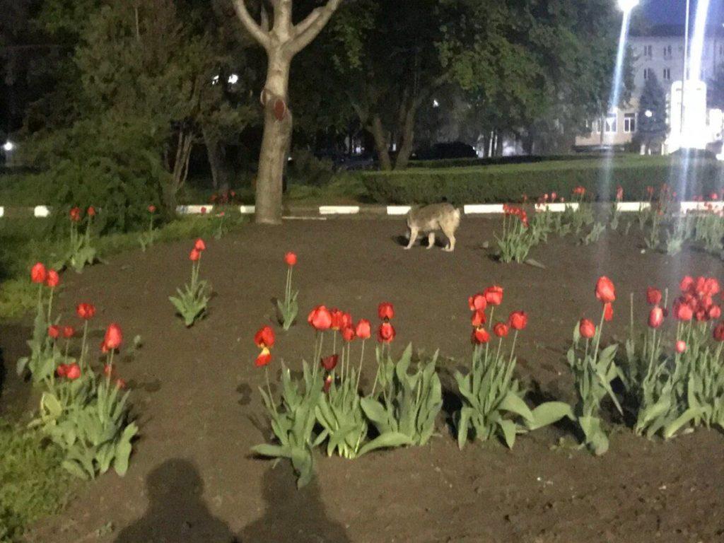 Foto Очередной случай нападения собак на детей зафиксирован в Бэлць 2 21.06.2021