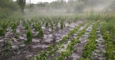 Ploile cu grindină din ultima perioadă au distrus sute de hectare de culturi agricole