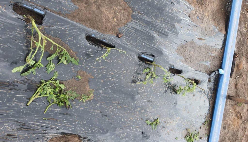 Foto /FOTO/ A plouat cu grindină în raionul Florești. Mai multe culturi au fost distruse 3 17.10.2021