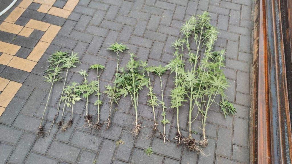 Foto /FOTO/ Mai multe plante de mac și cânepă au fost depistate în gospodăriile a doi locuitori din municipiul Bălți 5 17.10.2021
