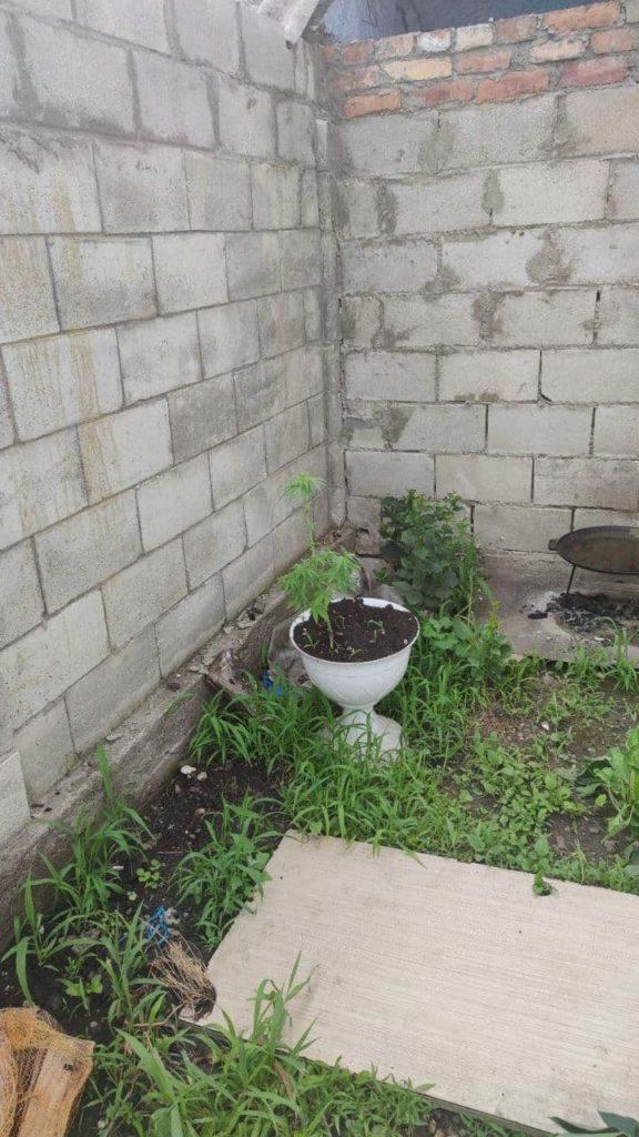 Foto /FOTO/ Mai multe plante de mac și cânepă au fost depistate în gospodăriile a doi locuitori din municipiul Bălți 4 17.10.2021