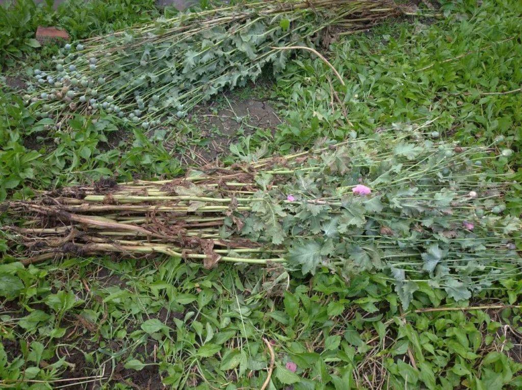 Foto /FOTO/ Mai multe plante de mac și cânepă au fost depistate în gospodăriile a doi locuitori din municipiul Bălți 2 17.10.2021