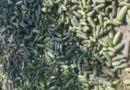 /VIDEO/ Un fermier din raionul Râșcani aruncă mormane de castraveți la păsări pentru că nu i-a putut comercializa